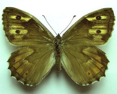 Определитель видового разнообразия бабочек Обливского района
